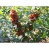 供应钙果苗,中华钙果苗,优质的钙果苗