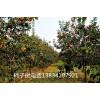 6公分柿子树哪里有 7公分8公分10公分柿子树6公分柿子树
