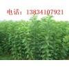 1米柿子树苗+1米柿子苗+柿子苗价格+1公分柿子树苗+柿子苗