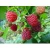 供大果双季树莓苗