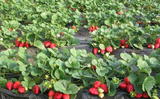 引种草莓富乡亲
