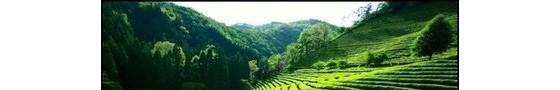 贵州乌当金融扶持茶产业发展 带动农户增收致富