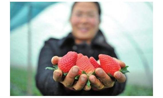 一颗草莓背后的农业供给侧之变