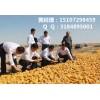 大量收购菜籽饼玉米| 玉米价格还会上涨吗