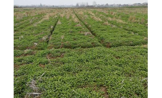 绿肥春季培管注意事项